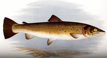 Montana State University (MSU) Archives Trout and Salmonid Artwork Digital Collection
